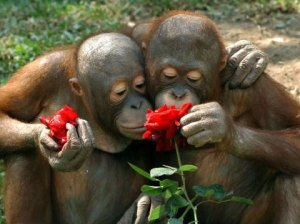chimp-smell-roses